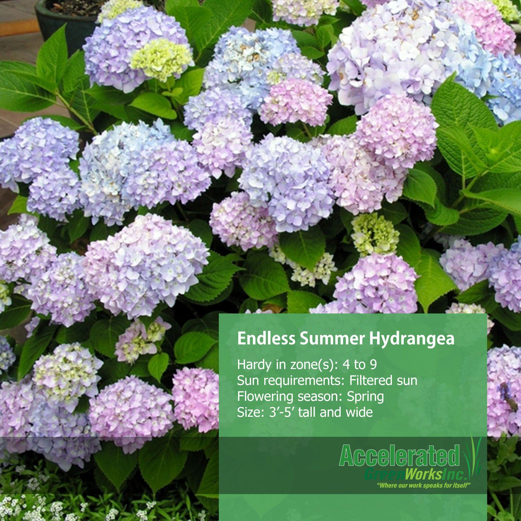 endless summer hydrangea shrubs pinterest. Black Bedroom Furniture Sets. Home Design Ideas