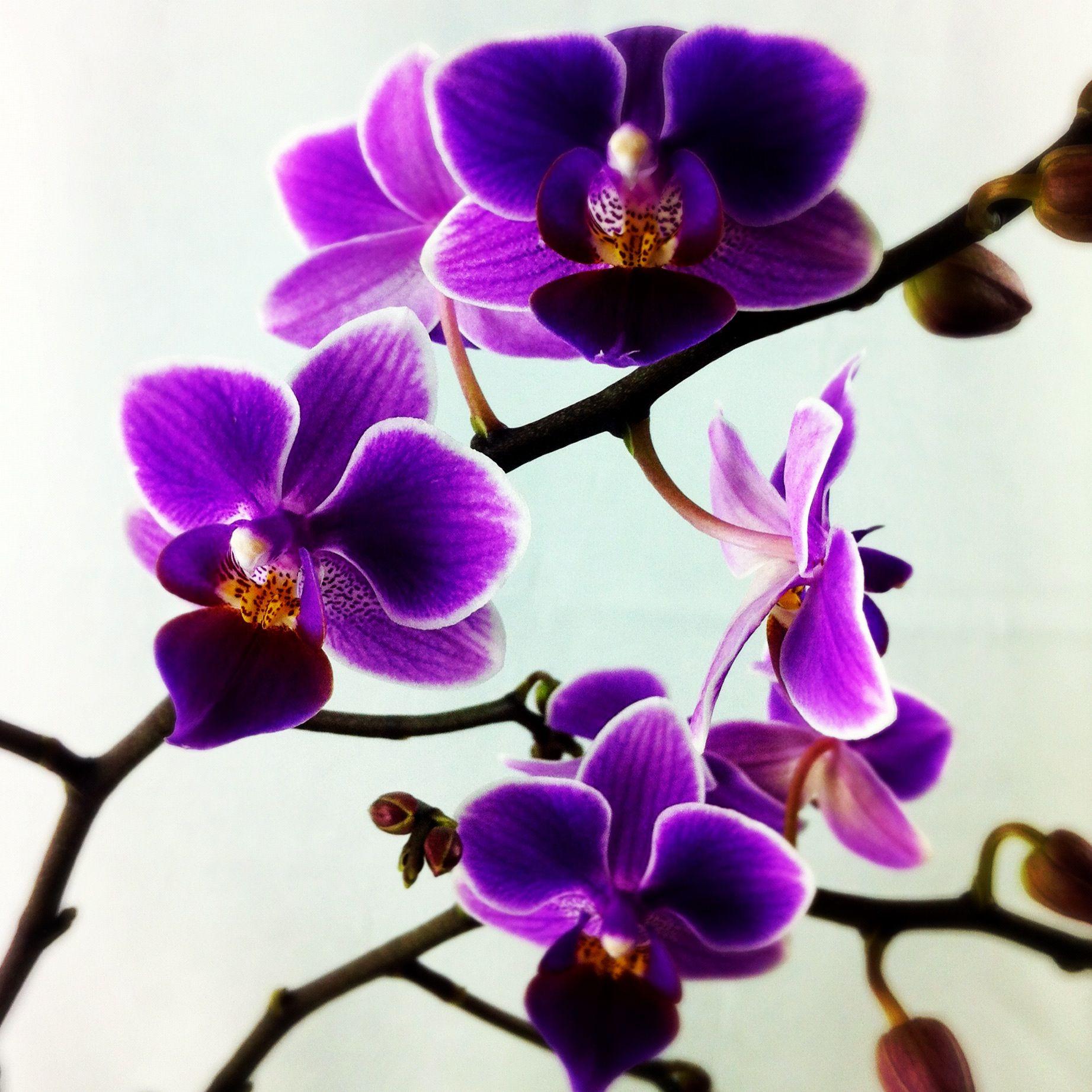 Purple Orchids  Photography Pinterest