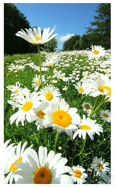 Field of Daisies | Inspirational photos | Pinterest Field Of Daisies