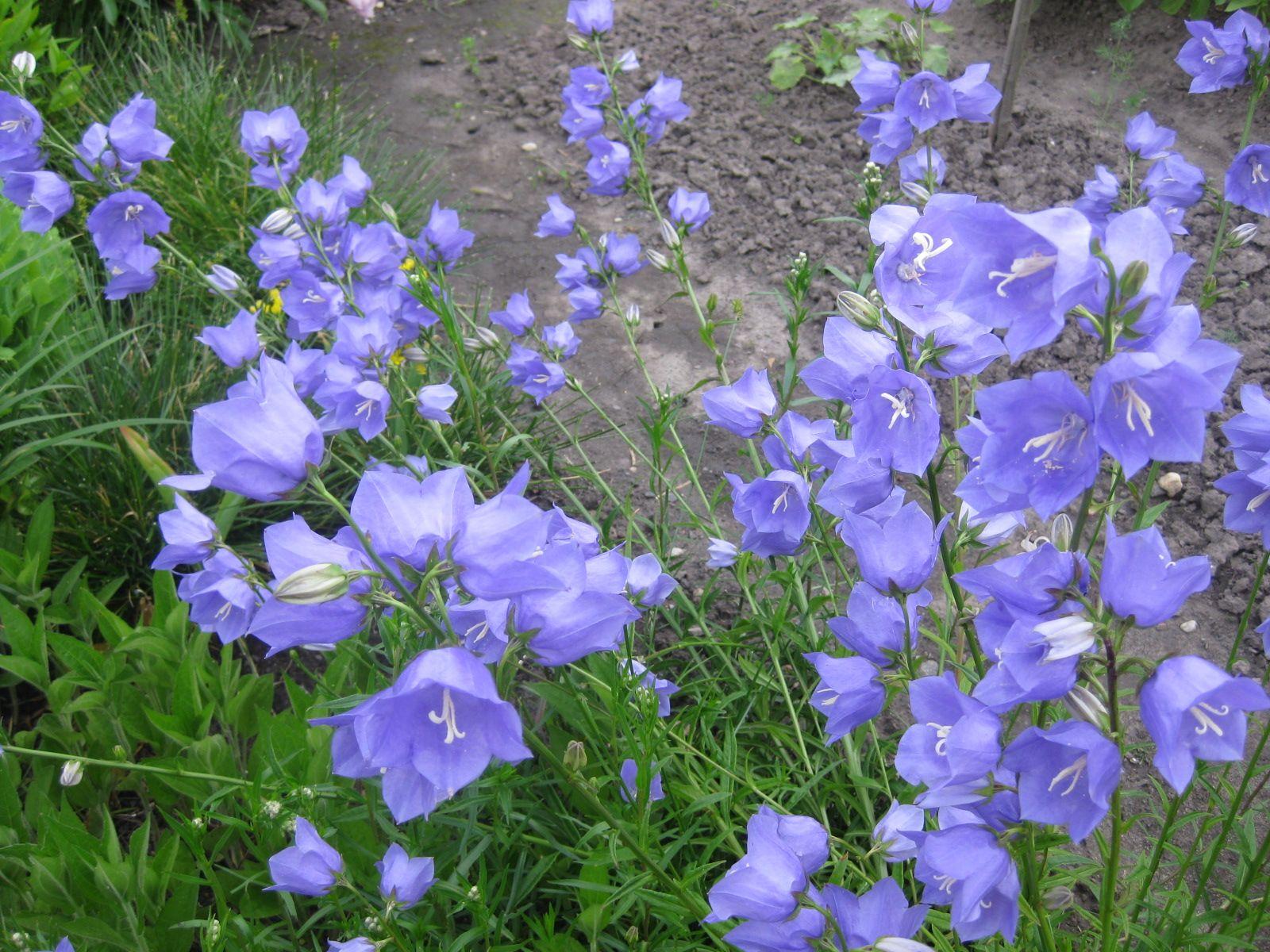 blaue glockenblumen garten blumen pflanzen pinterest. Black Bedroom Furniture Sets. Home Design Ideas
