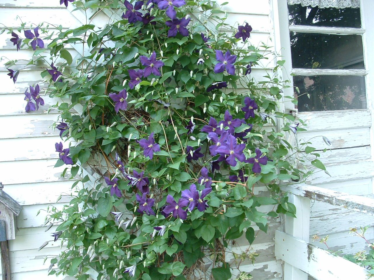 clematis jackmanii my flowers and herbs pinterest. Black Bedroom Furniture Sets. Home Design Ideas