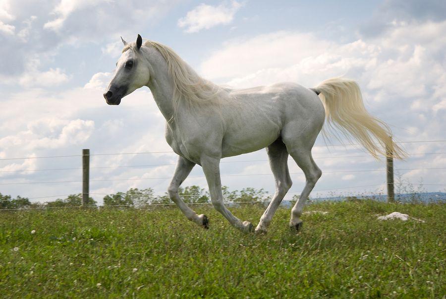White arabian horse - photo#4