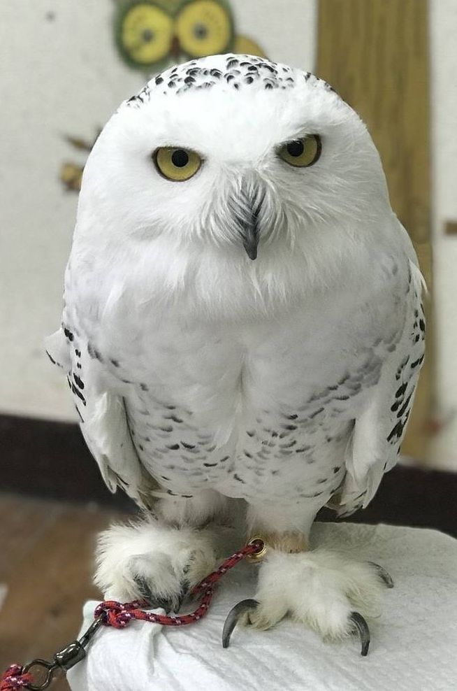 フクロウの画像 p1_19