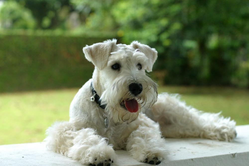 White Miniature Schnauzer White Schnauzer | pets...