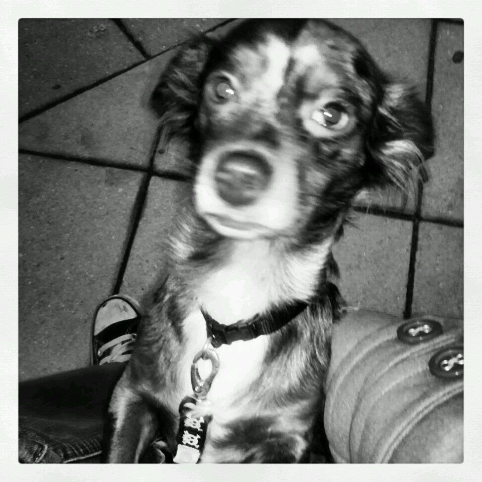 Voodoo in black and white #chiweenie | animals! | Pinterest