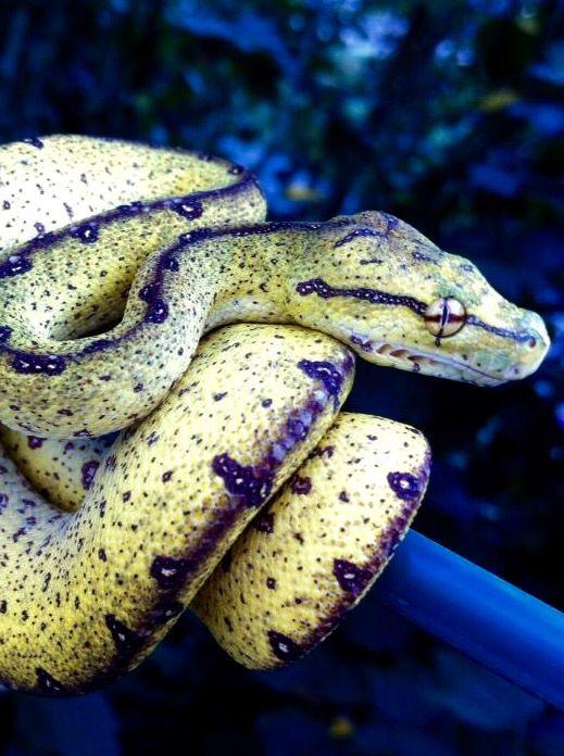 Black viper snake fangs