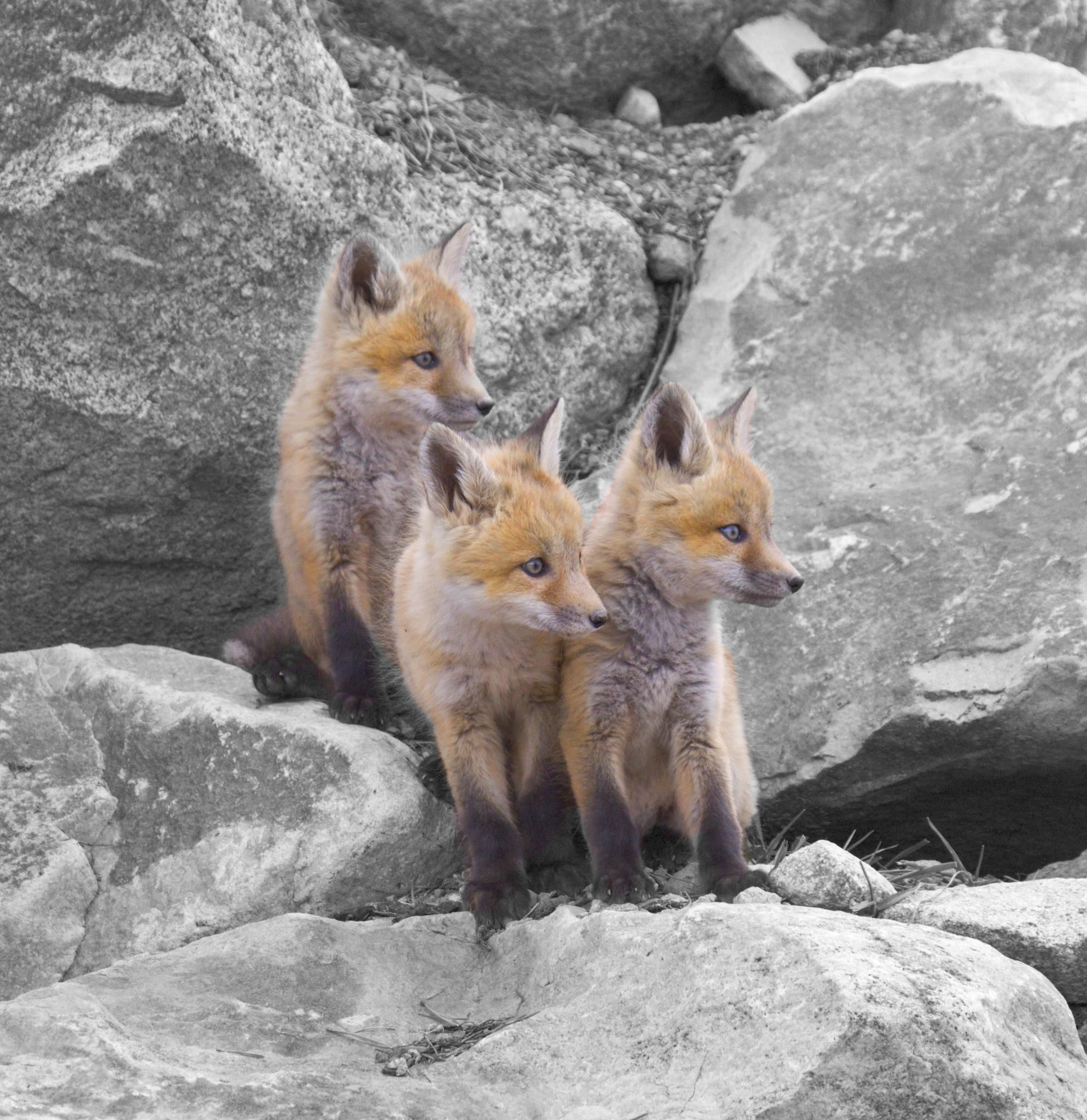 Cute baby foxes! | Lachlan | Pinterest