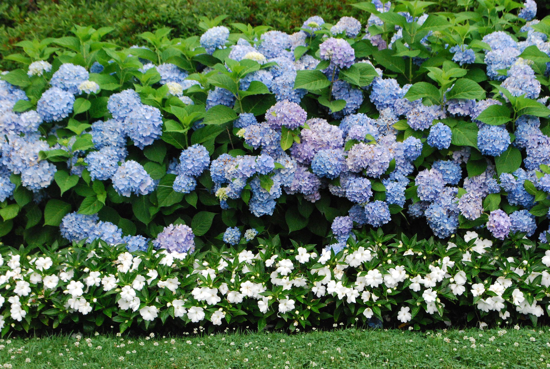 Blue hydrangeas gardens pinterest for Garden designs with hydrangeas
