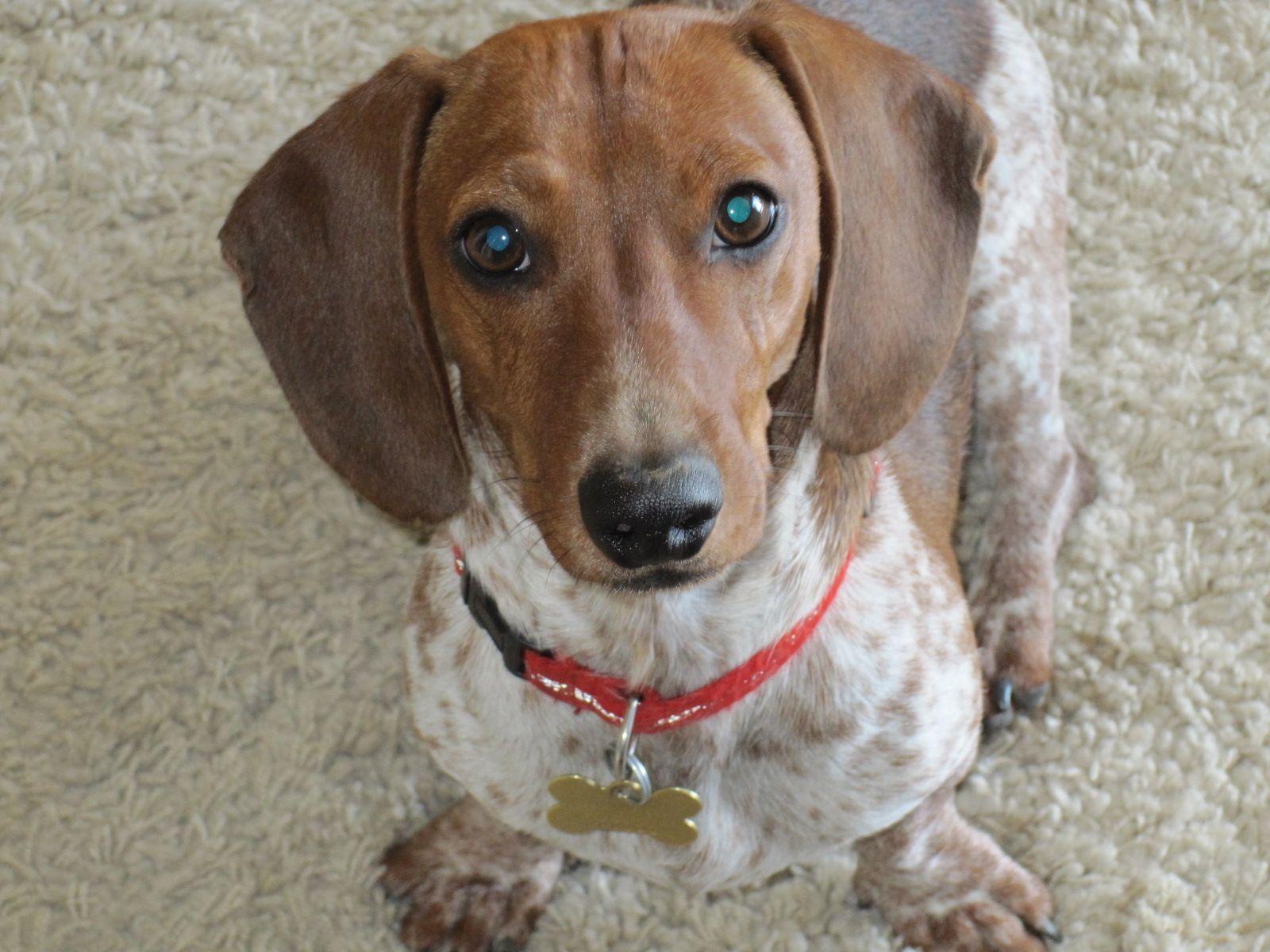 Dachshund Piebald - handsome boy | Puppies! | Pinterest