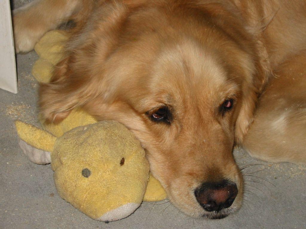 Golden Retriever Abby & her baby | Dogs | Pinterest Golden Retriever And Baby