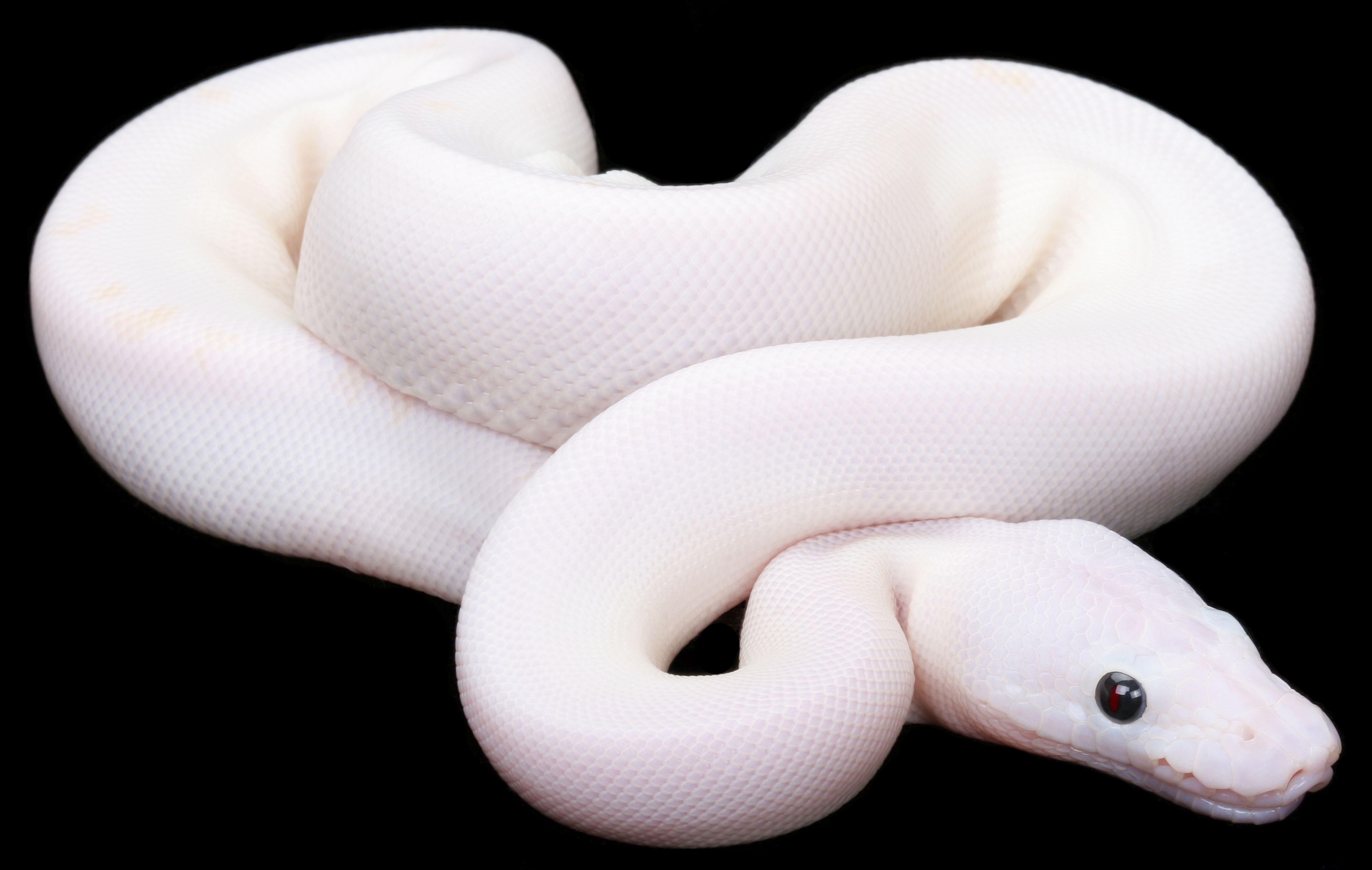 Black eyed leucistic ball python