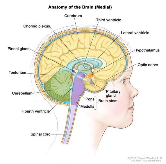 Similiar Lateral Ventricle Anatomy Keywords