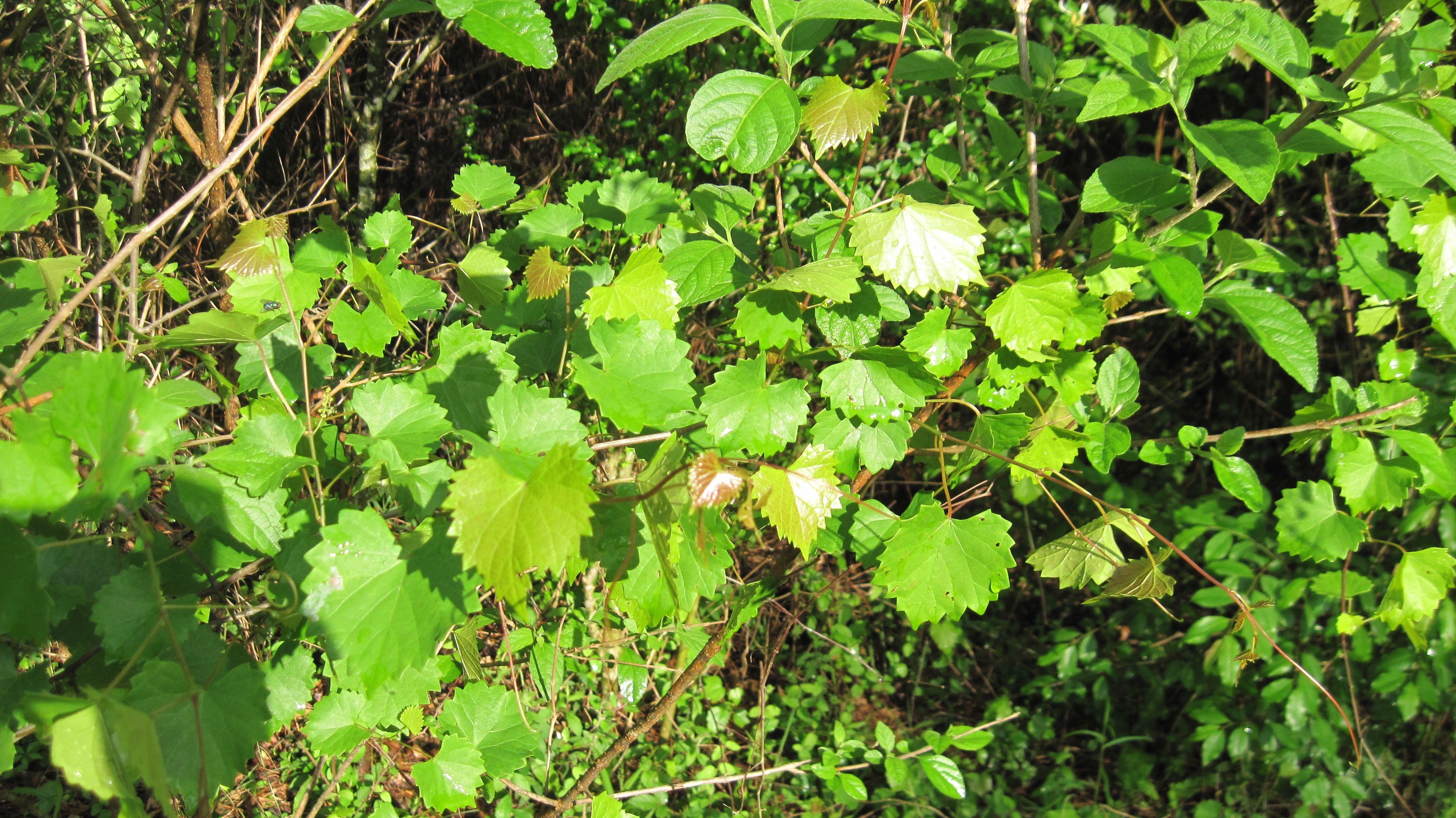 vines on pinterest - photo #20