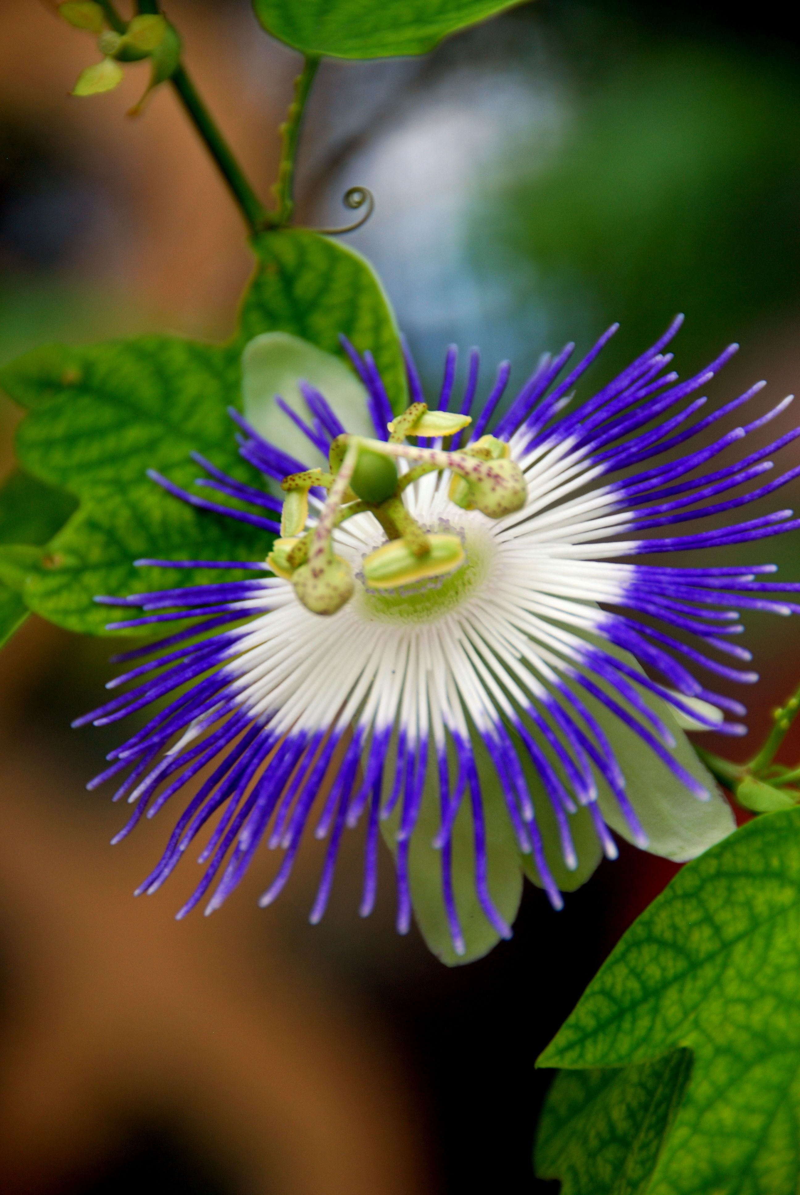 passion flower Natural Forms