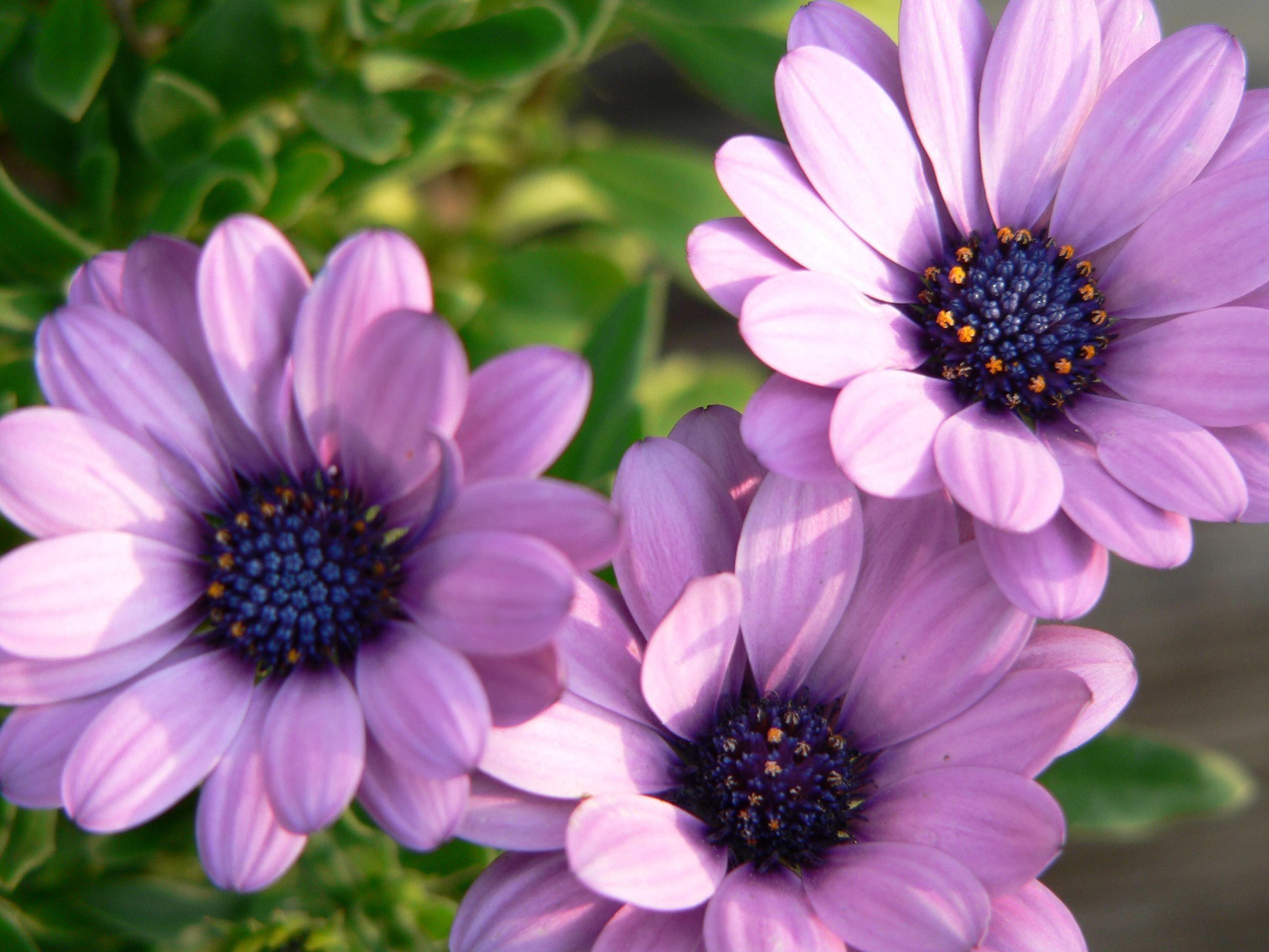 purple mums Garden Flowers
