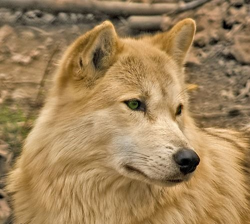 Light brown wolf with blue eyes - photo#4