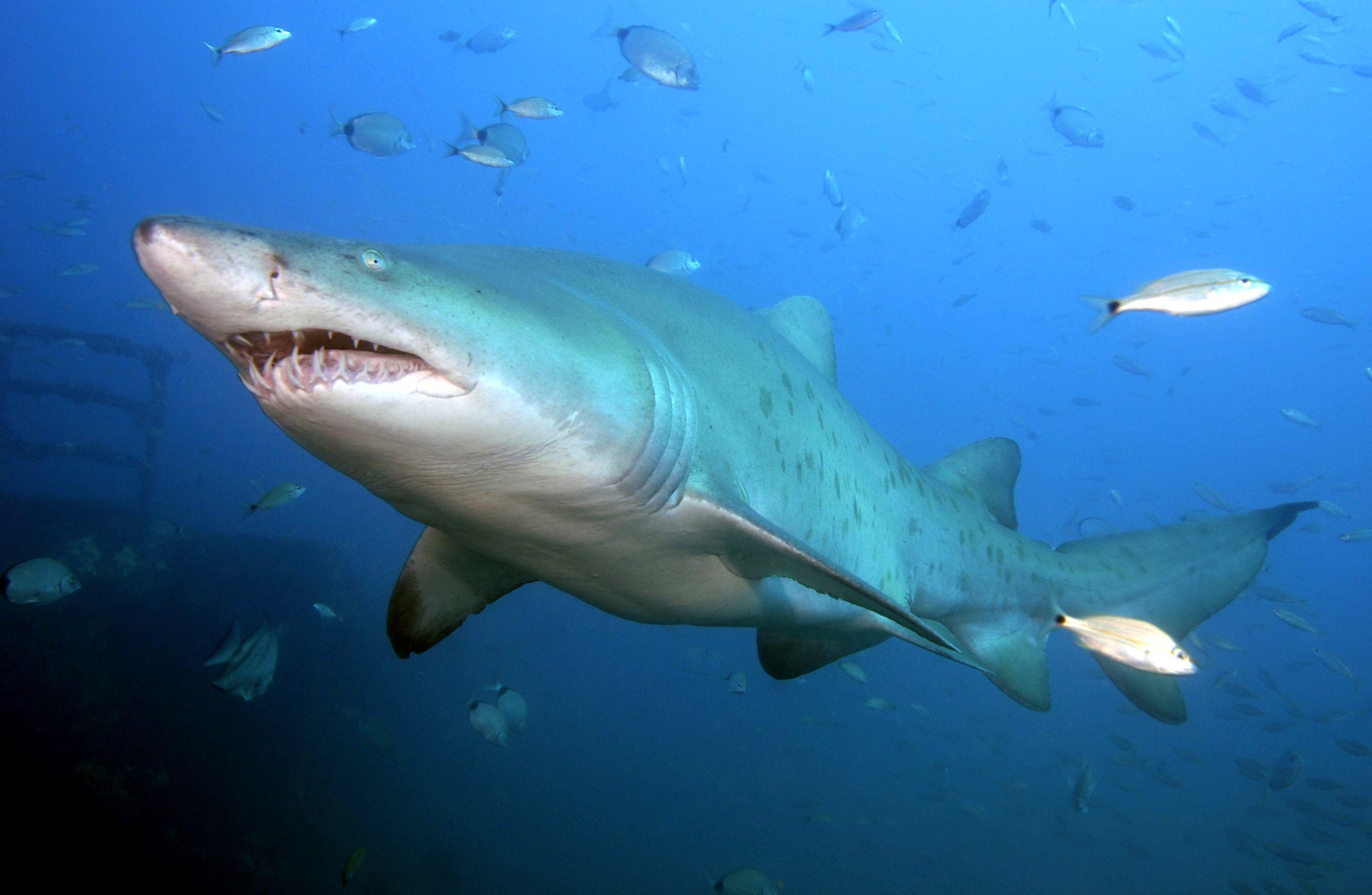 Sand tiger shark fishing at ocean isle beach nc pinterest for Shark fishing nc