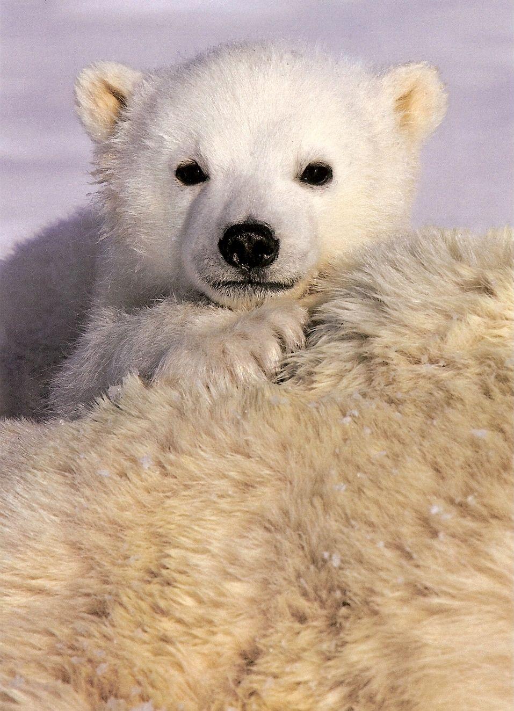 baby polar bear | Animals | Pinterest