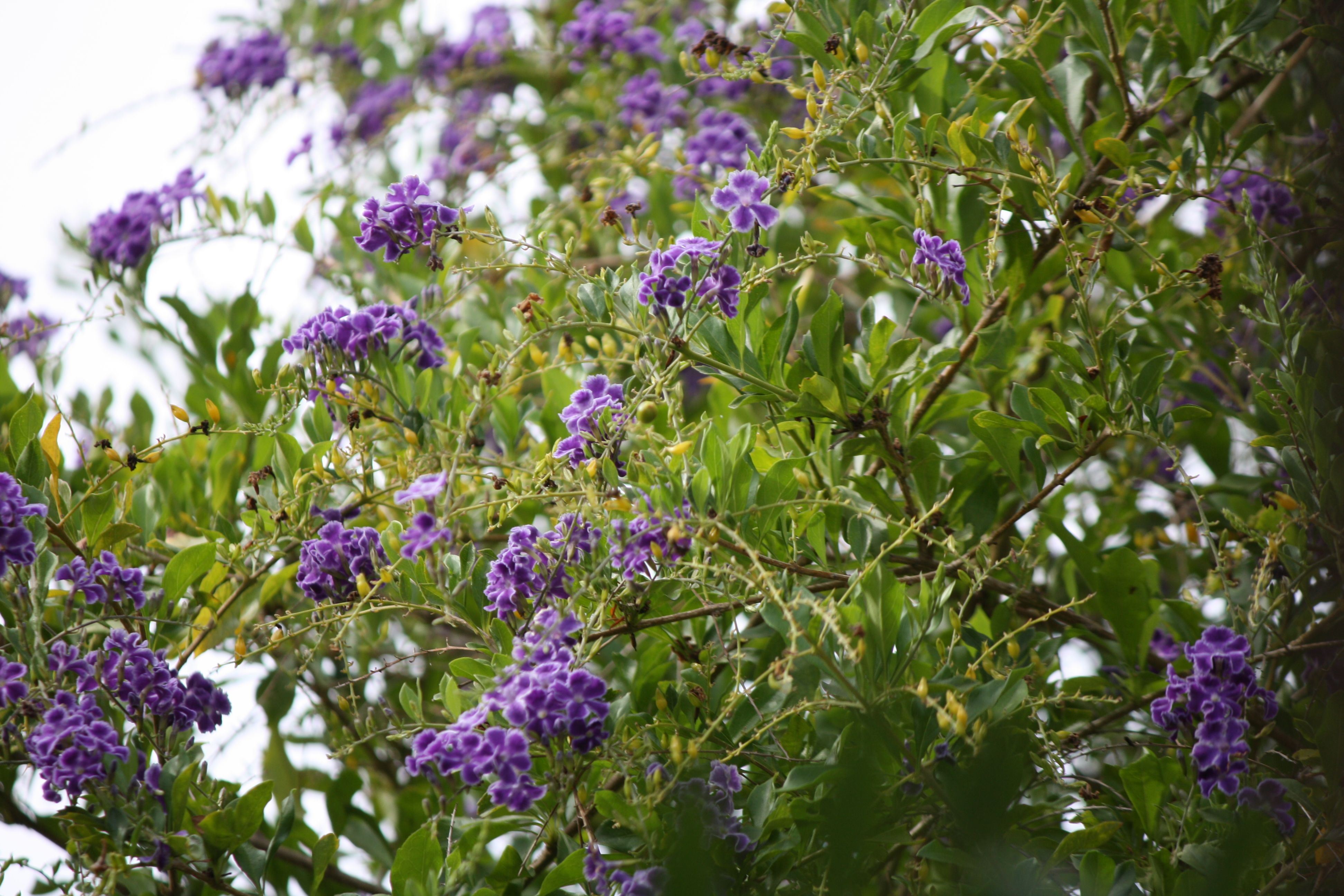 unknown species trees purple flowers Plants