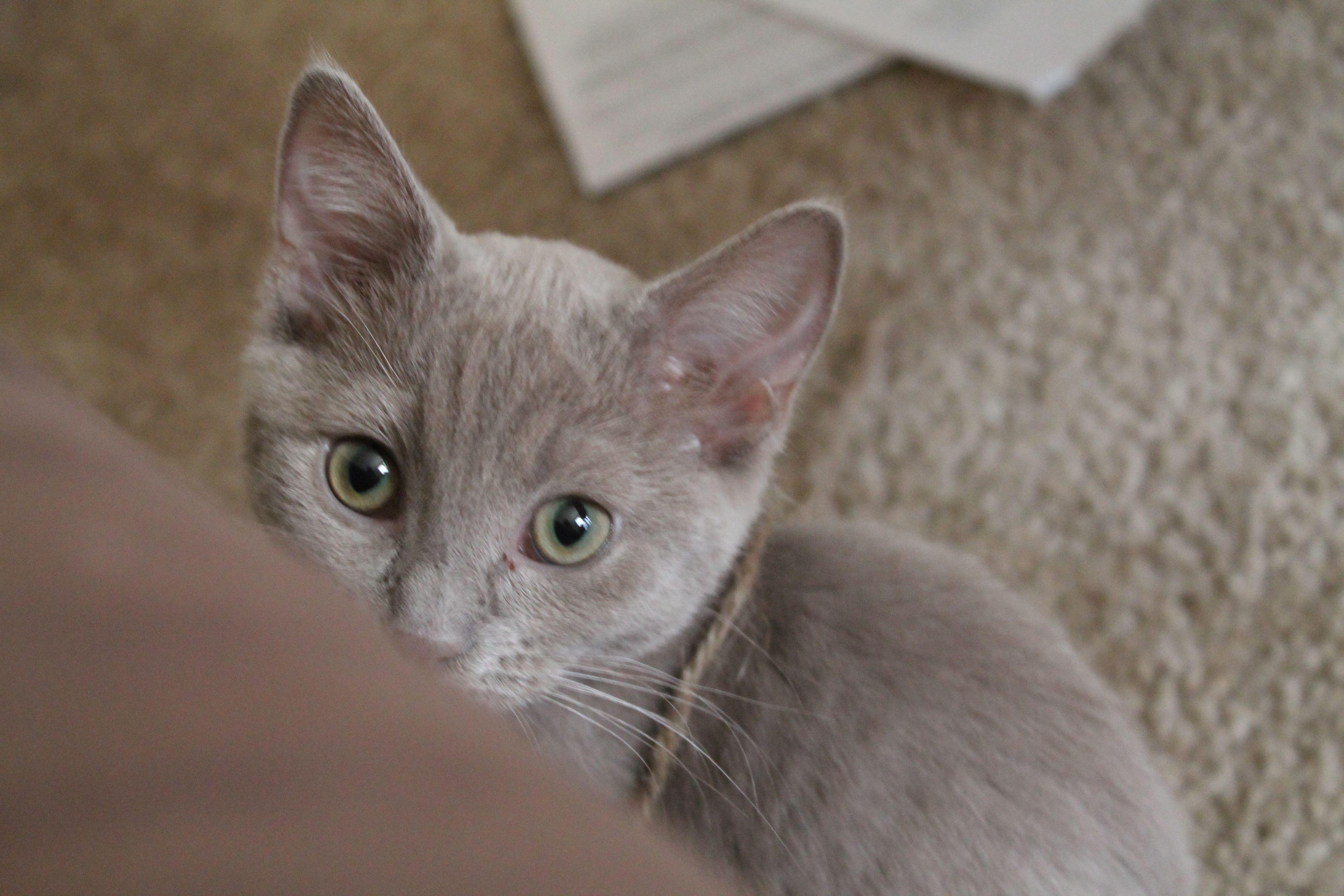 Russian Blue Mix Kittens | www.imgkid.com - The Image Kid ...