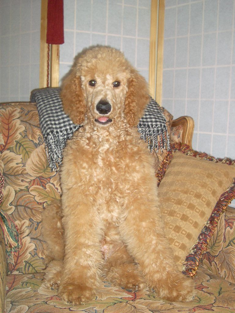 Apricot Standard Poodle puppy. Caesar | Oodles of Apricot ...