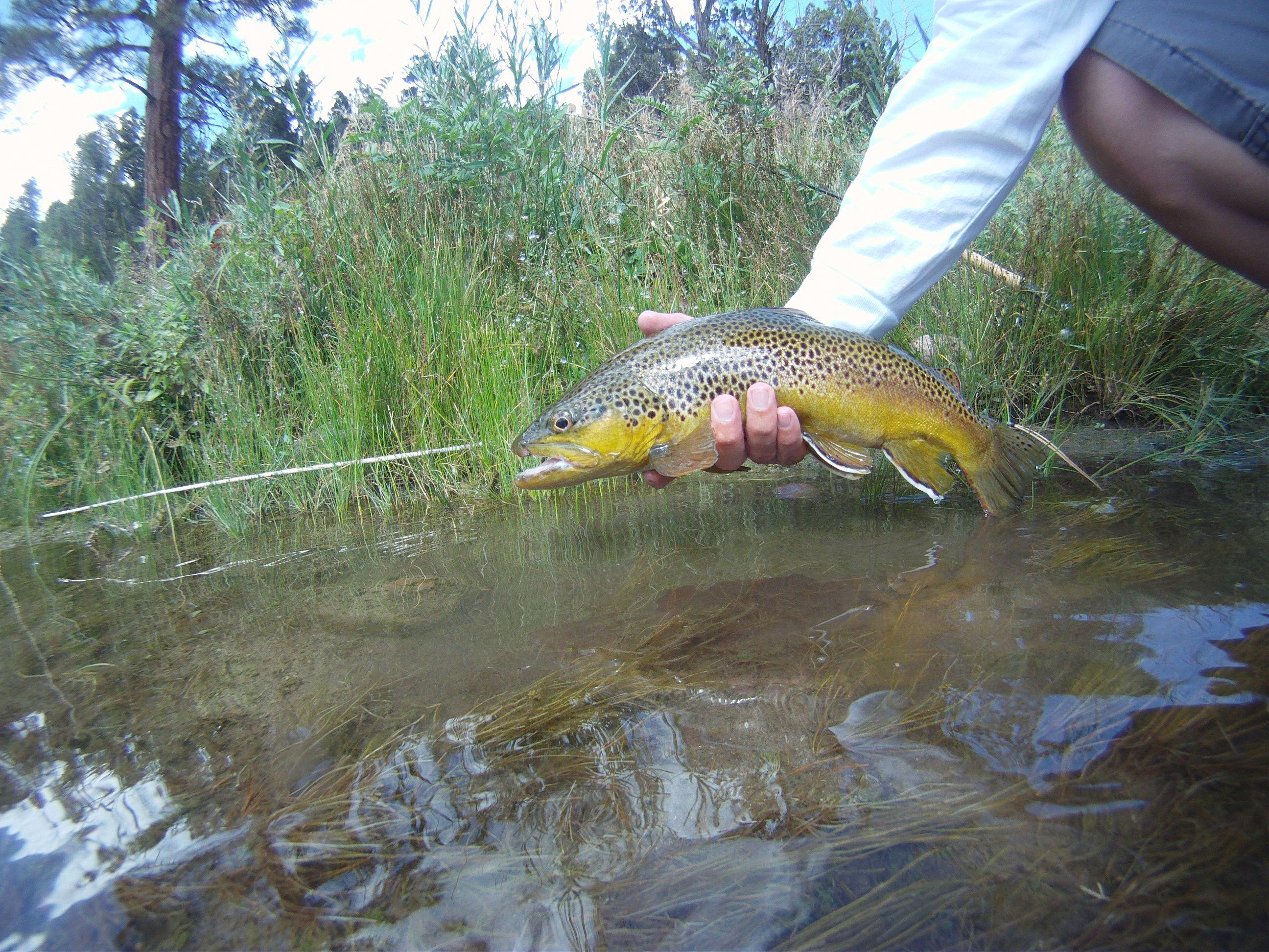 Green river brown trout green river utah pinterest for Fly fishing green river utah
