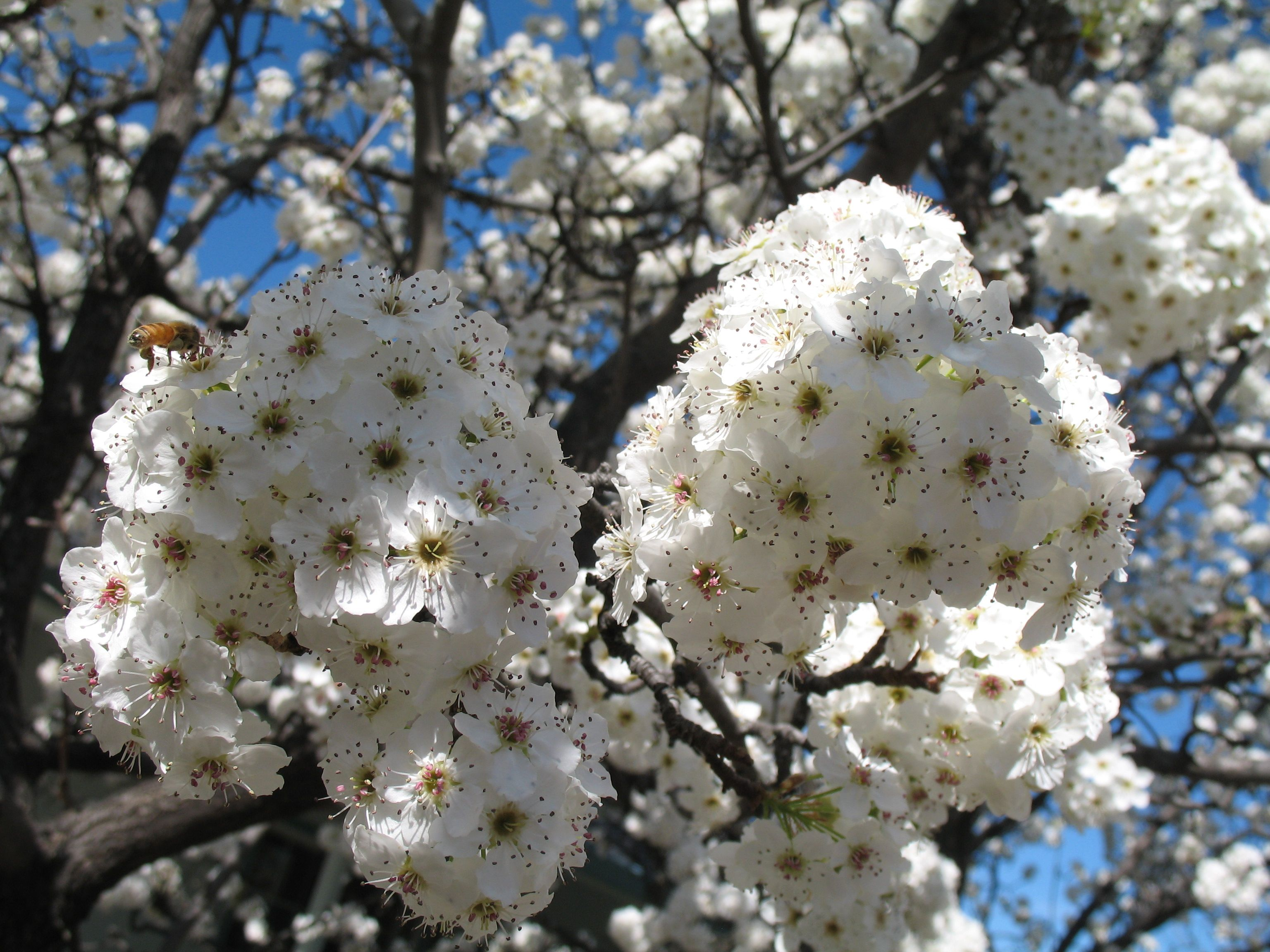 Flowering pear tree blossoms Home