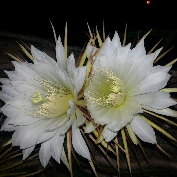 Cactus flower only blooms at night design pinterest for A flower that only blooms at night