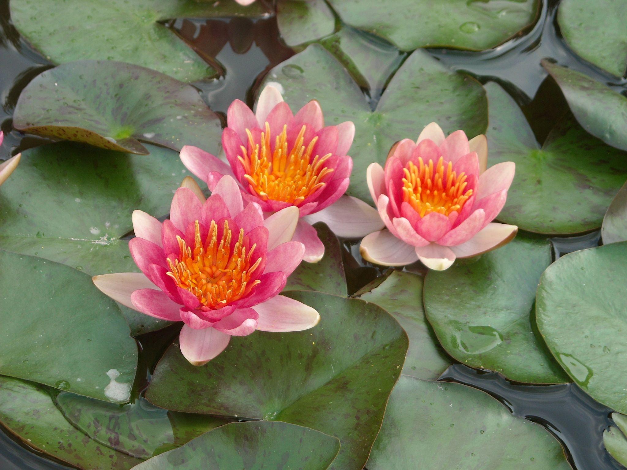 Plantas acu ticas paisajismo y jardineria pinterest for Plantas paisajismo