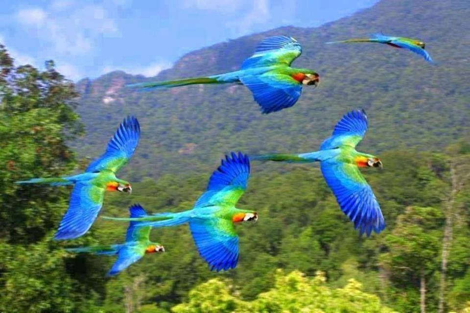pin blue macaw bird - photo #49
