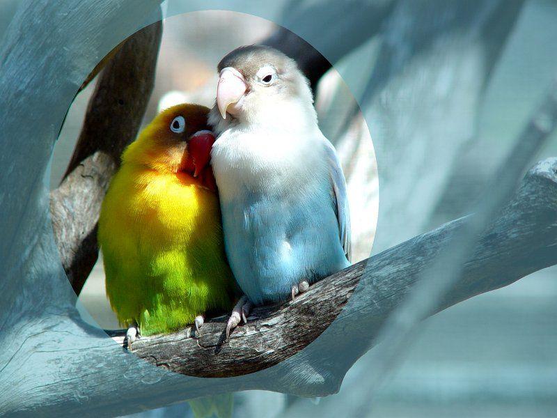 colourful love birds