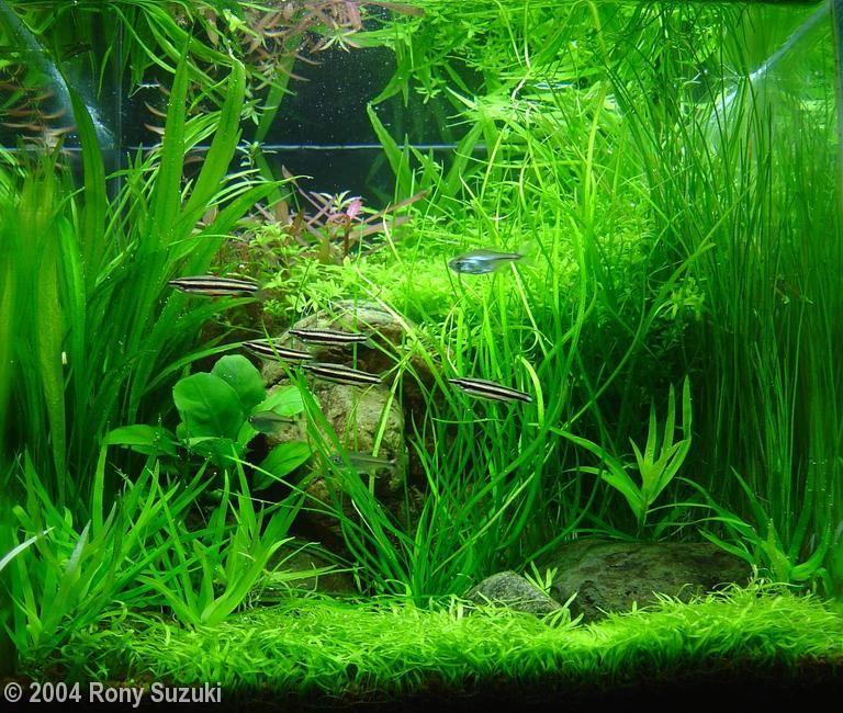 Densely planted nano aquarium pinterest for Plante nano aquarium