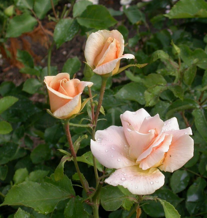 Rosa Mae Recipe — Dishmaps