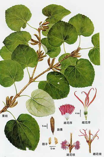 カツラ (植物)の画像 p1_33