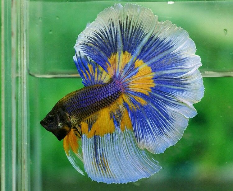 Blue halfmoon betta fish - photo#16