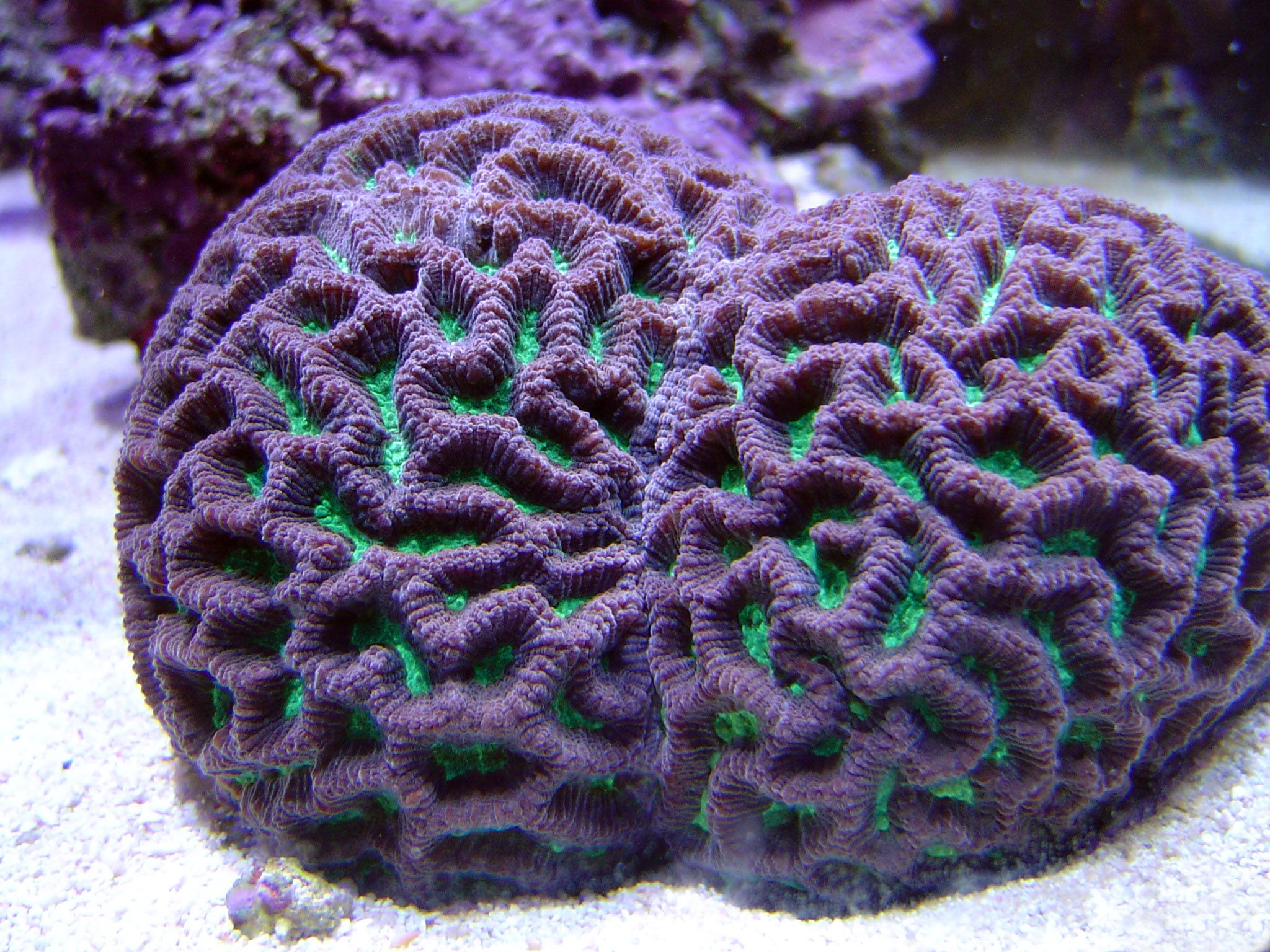brain coral drawing - photo #25