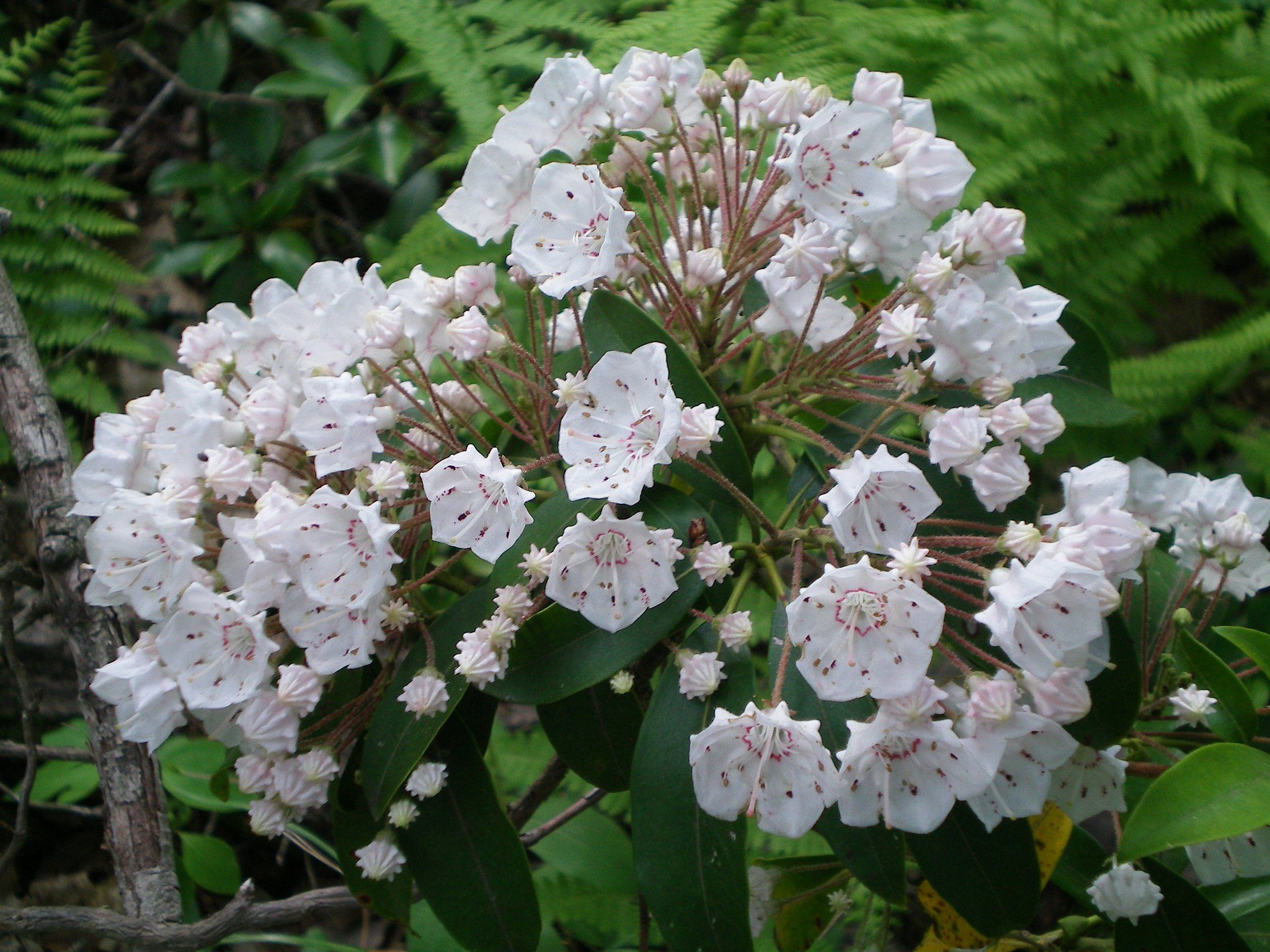 Mountain laurel the state flower of PA Pennsylvania