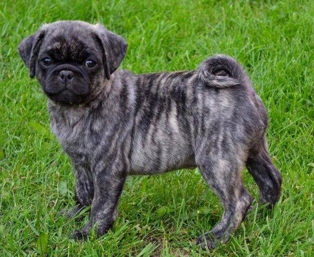 Brindle Pug | Dog Breeds Picture