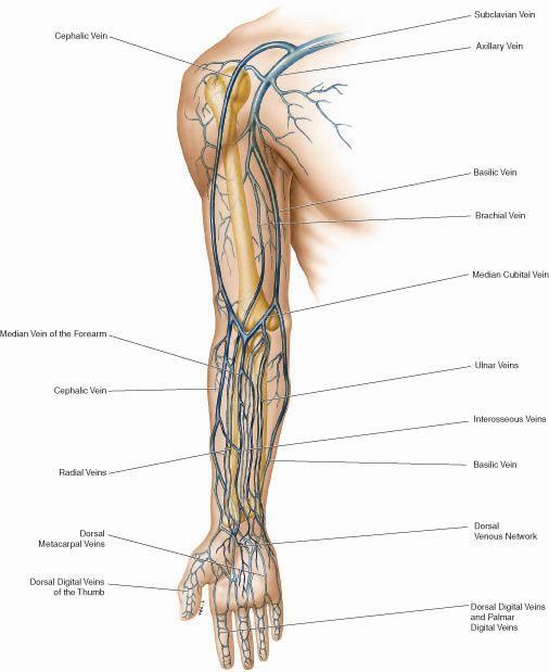 Venous anatomy of arm