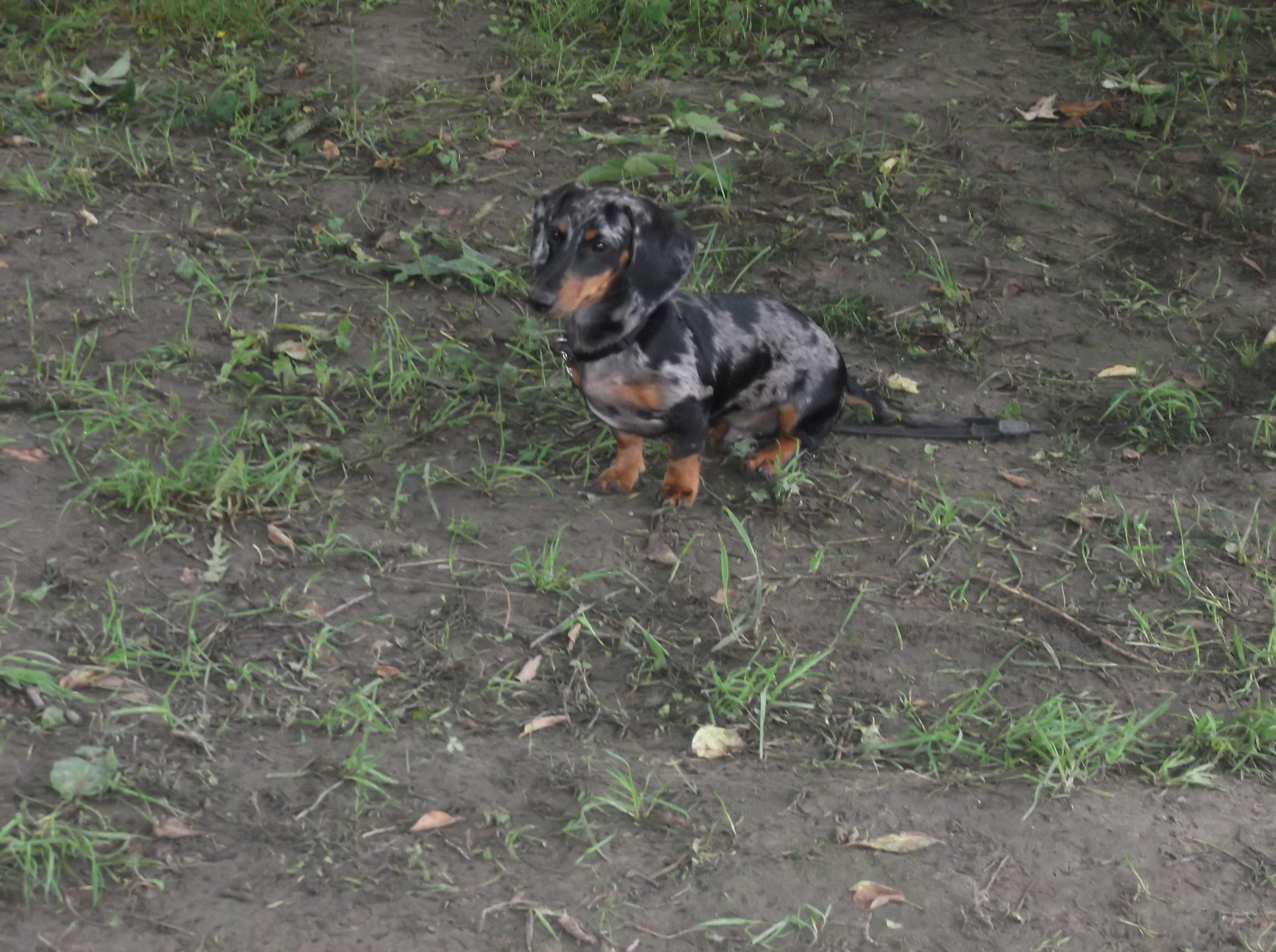 Mon chien Léo Teckel miniature arlequin | saucisse