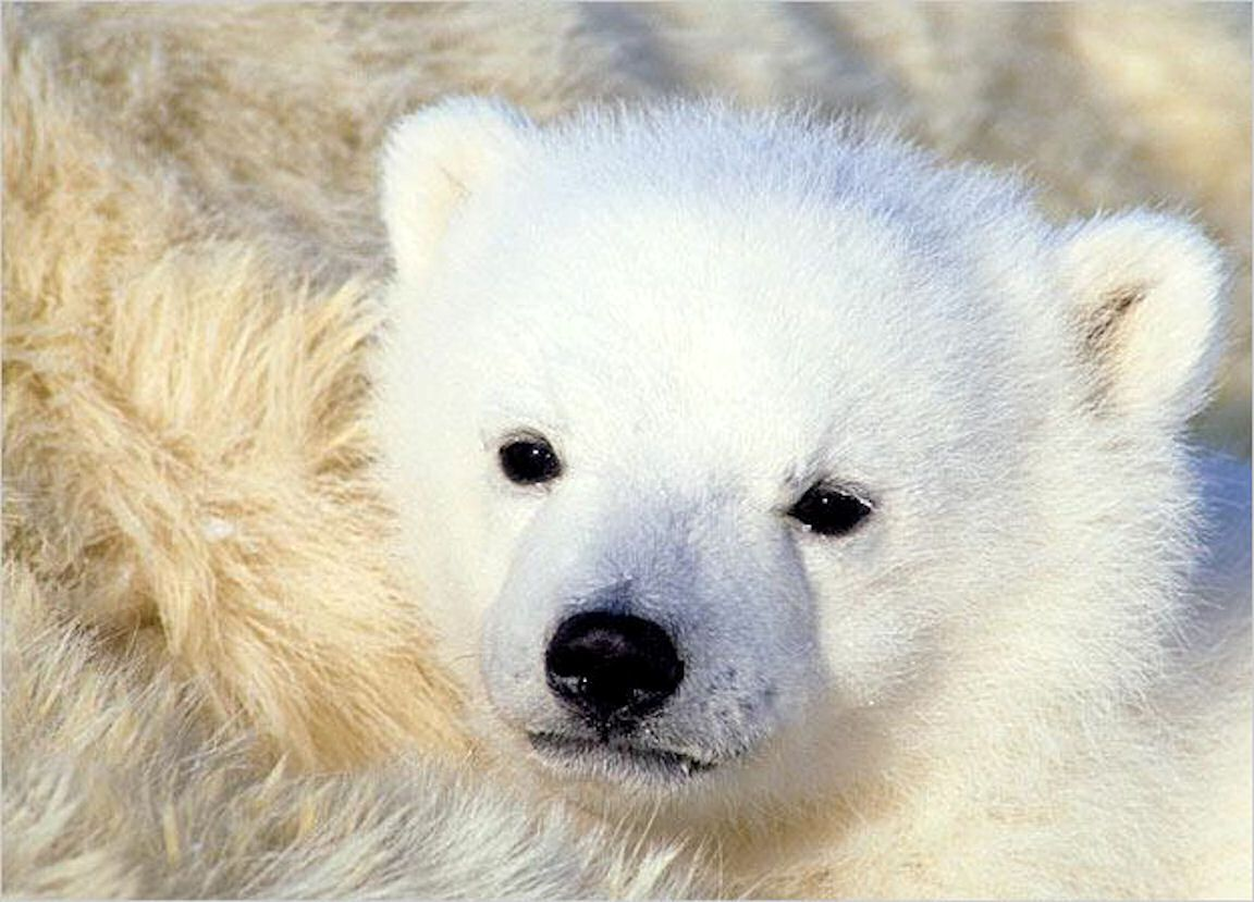 Baby Polar Bear Cub | Babies | Pinterest