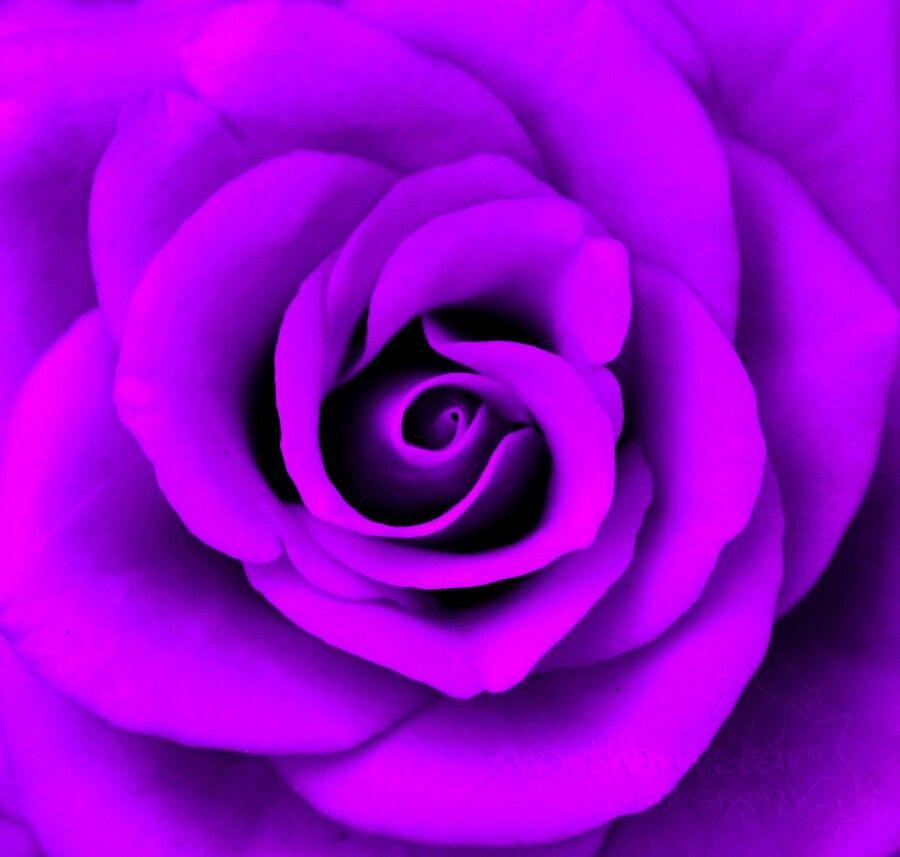 Neon purple ravishing roses pinterest for Purple rose pictures