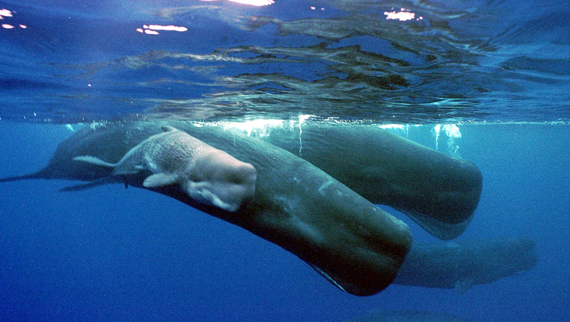 Sperm whale and calf - photo#1