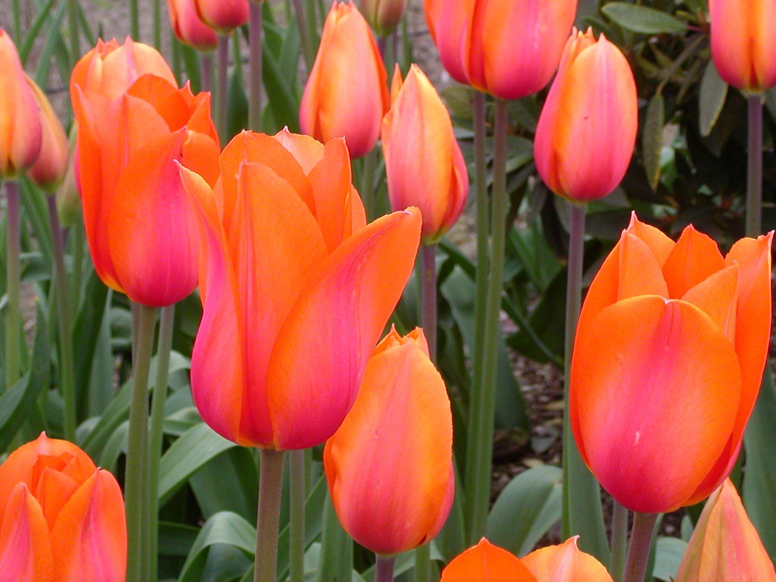 pink orange tulips flowers and garden pinterest. Black Bedroom Furniture Sets. Home Design Ideas