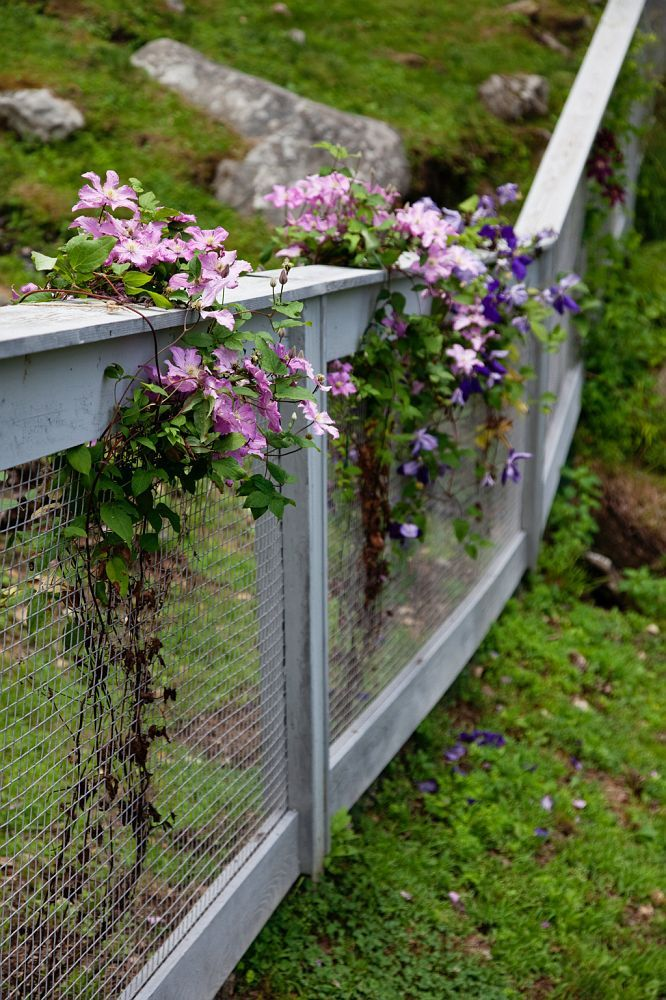 Clematis Climbing And Covering Things To Live With Pinterest