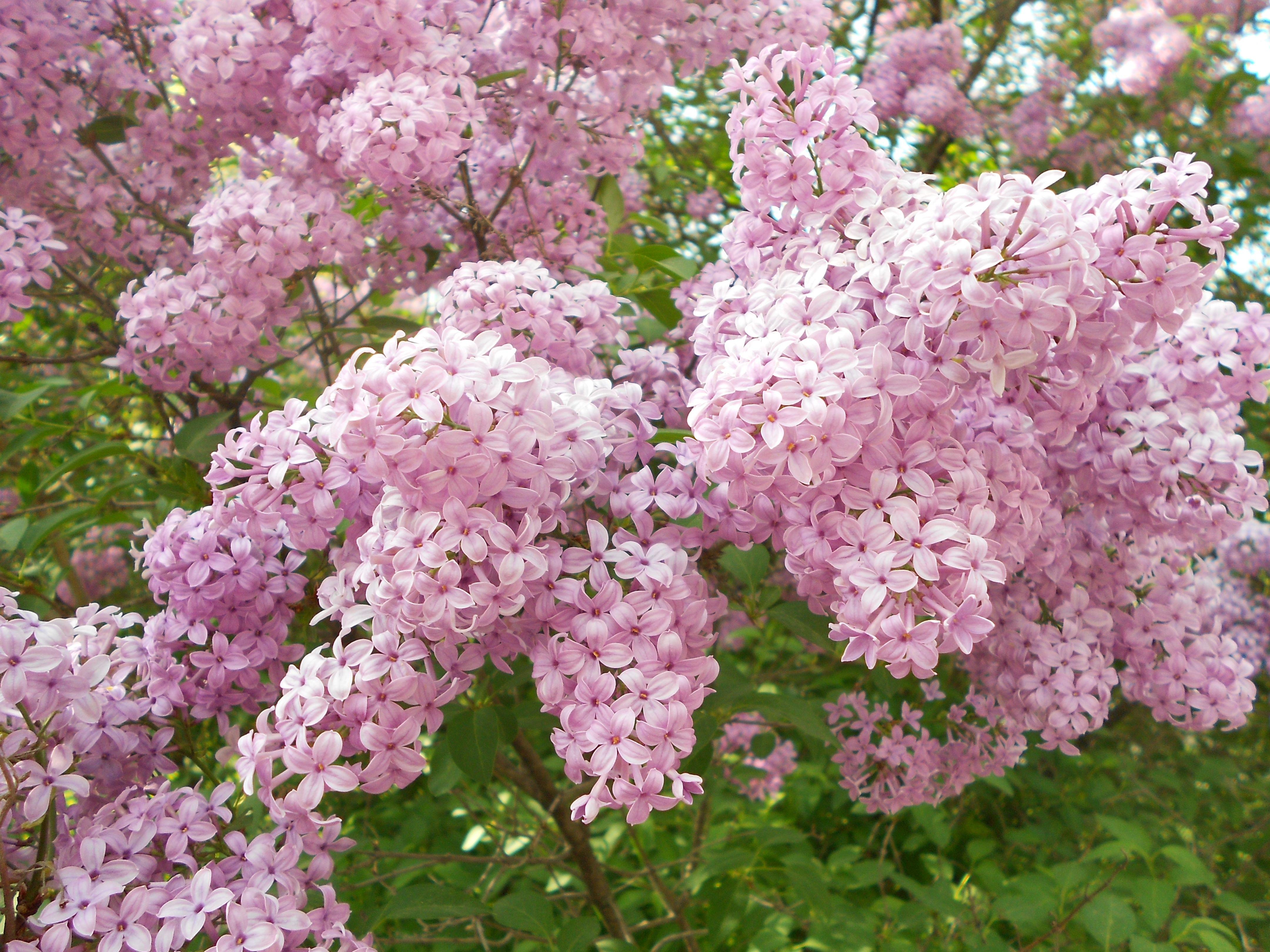 Lilacs bush syringa vulgaris common lilac the lilacs of for Small bushy trees