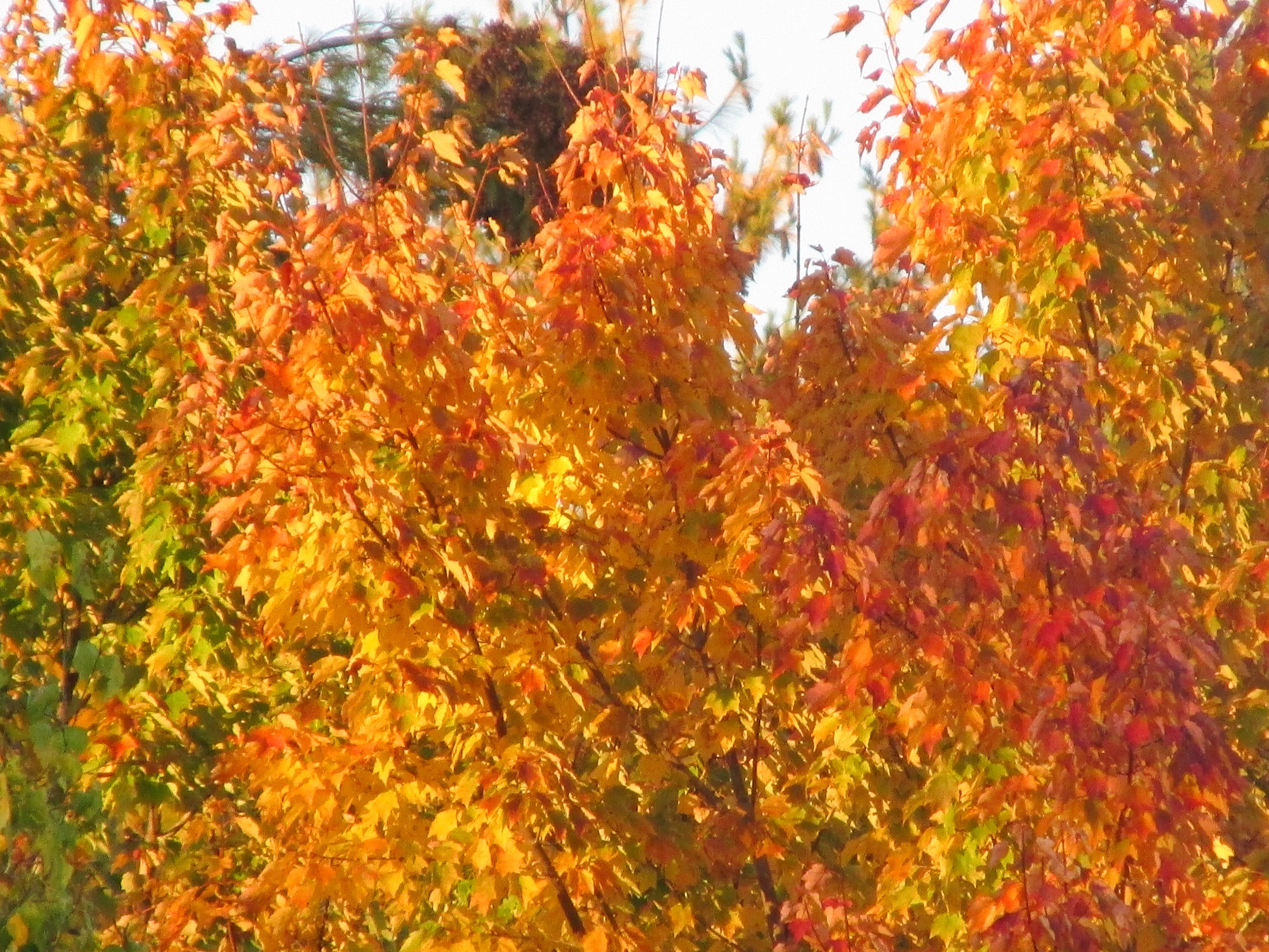 foliage 2014 in the White Mountains of New Hampshire
