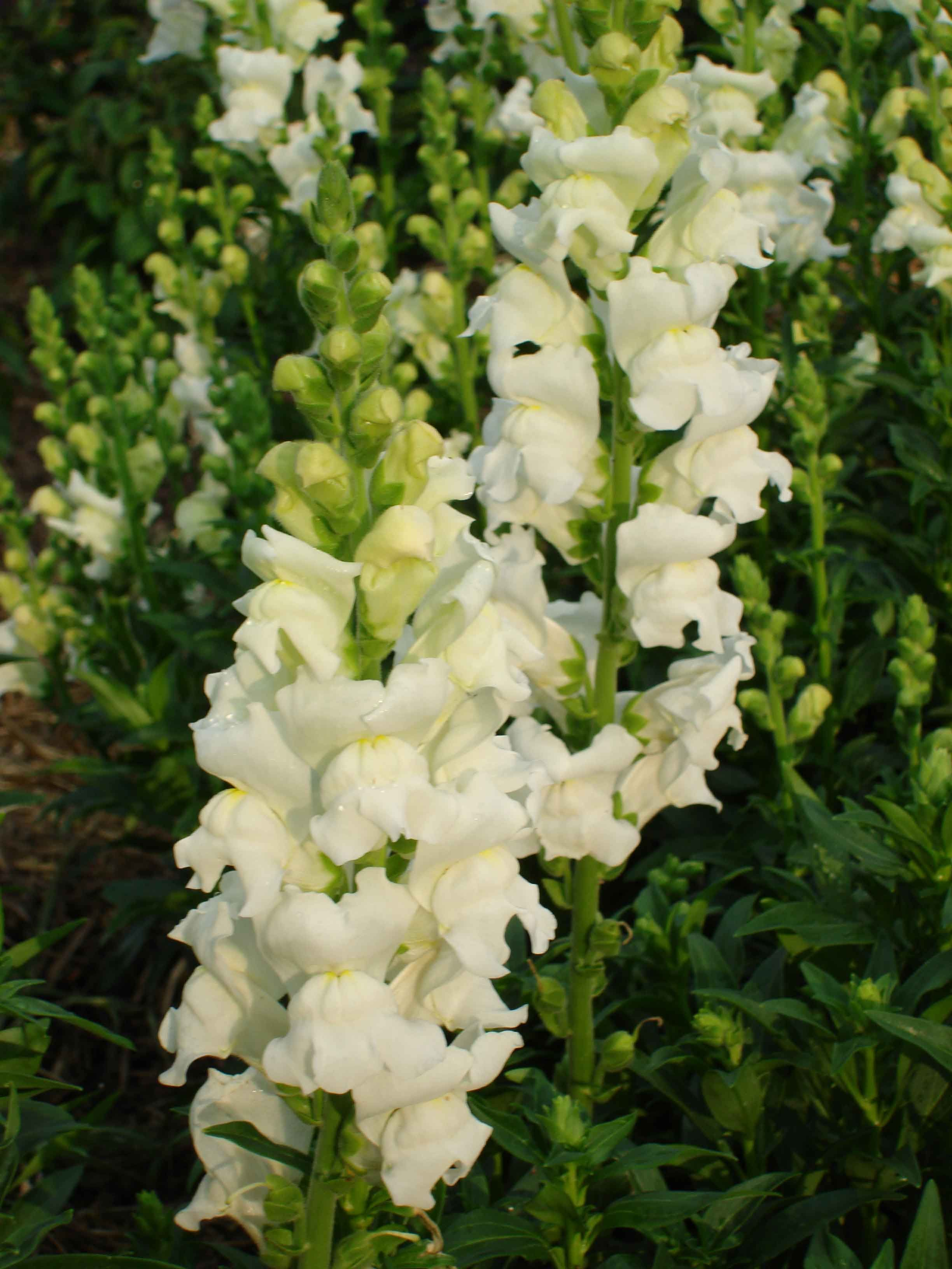 White Snapdragons Wedding Ideas