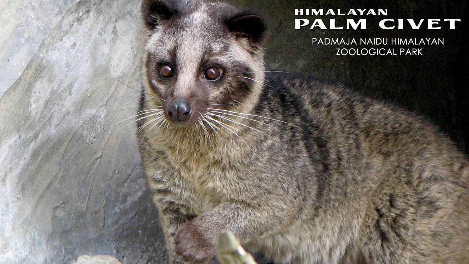 Common Palm Civet Baby...