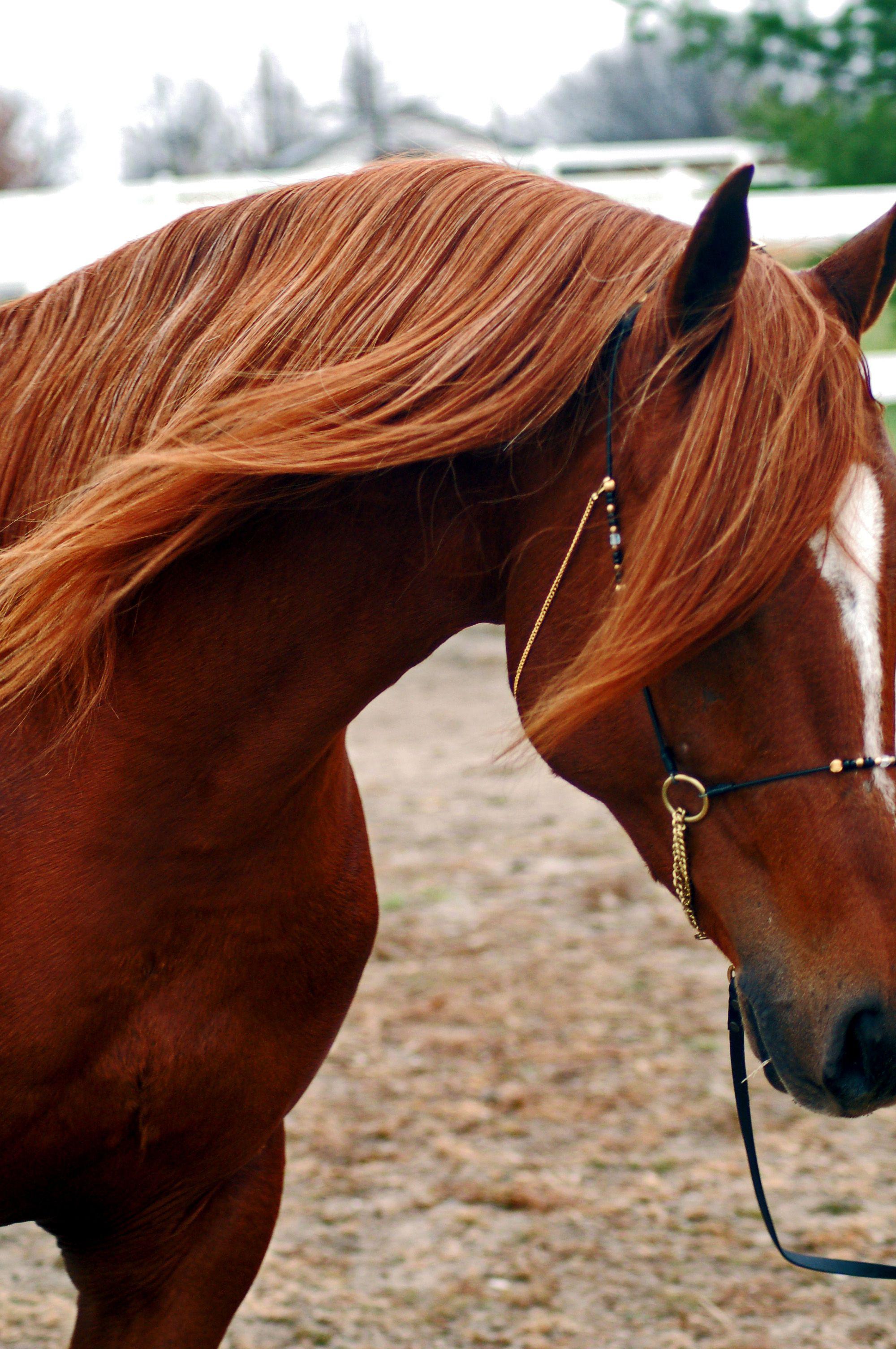 El Shihab @Arabian Horse Association | Eeeee! | Pinterest